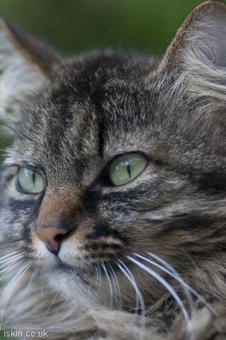 iphone portrait wallpaper tabby cat