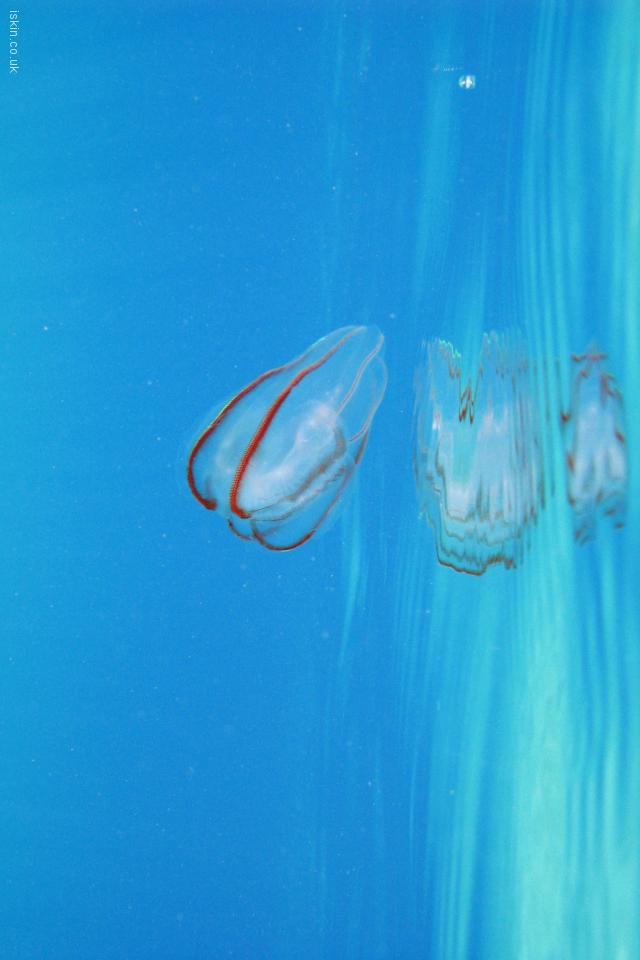iphone 4 landscape wallpaper Jelly Fish