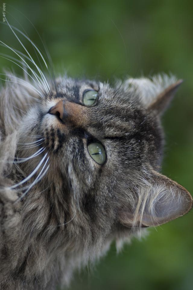iphone 4 landscape wallpaper tabby cat